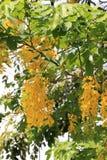 De de gouden bloemen en knoppen van de doucheboom Royalty-vrije Stock Afbeeldingen
