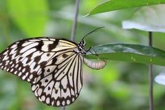 De de grote vlinder en eieren van Boomnimfen Royalty-vrije Stock Foto