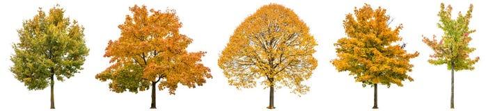 De de herfstbomen isoleerden witte achtergrond Eiken esdoornlinde Stock Foto