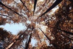 De de herfstbomen zien omhoog eruit Stock Afbeeldingen