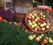 De de herfstdecoratie, het houten vat, de rode en groene appelen in een rieten mand op stro, pompoenen, pompoen, heide bloeien stock foto's