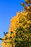 De de herfstesdoorn verlaat blauwe hemel geeloranje aard Stock Afbeelding