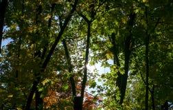 De de herfstesdoorn verlaat blauwe hemel gele 6 Stock Afbeelding