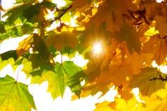 De de herfstzon glanst door de gouden bladeren en de takken Royalty-vrije Stock Afbeeldingen