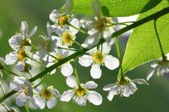 De de kersenboom van de vogel bloeit macro Stock Afbeeldingen