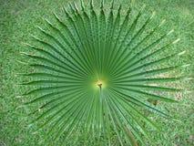 De de krulronde van het Acanthusblad zoals een slag ะhe staart keek als een merel Stock Fotografie