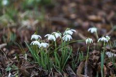 De de lente` s Sneeuwklokjes zijn opgesprongen Royalty-vrije Stock Foto's