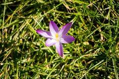 De de lentebloemen beginnen te bloeien Stock Foto's