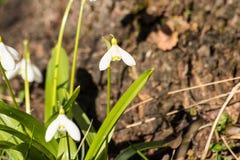 De de lentebloemen beginnen te bloeien Stock Afbeeldingen