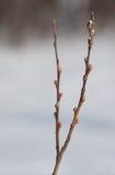 De de lenteknoppen zwellen Stock Foto's