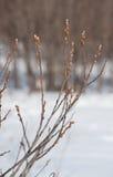 De de lenteknoppen zwellen Stock Afbeelding