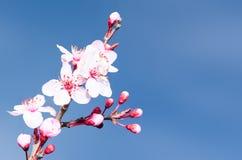 De de lentepruim komt roze knoppen en bloemen tot bloei Royalty-vrije Stock Foto's