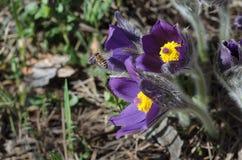 De de lentesneeuwklokjes groeien in het bos Royalty-vrije Stock Fotografie