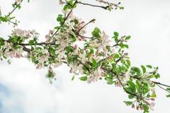 De de lentetijd kwam witte boombloemen tot bloei royalty-vrije stock foto