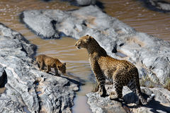 De de luipaardmoeder en welp houden van de rivier in Masai Mara, Kenia te kruisen Stock Fotografie