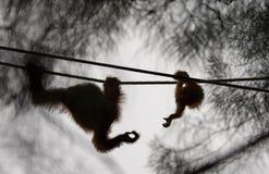 De de orangoetanmoeder en baby die voor elke anderen bereiken overhandigen stock foto's