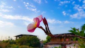 De de rode bloemen en hemel van Plumeria Royalty-vrije Stock Afbeelding