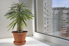 De de ruimtebloem van Pahipodium in een pot is op de vensterbank. Stock Afbeelding