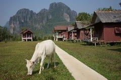 De de toeristenbungalow en koe royalty-vrije stock afbeelding