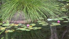 De de Waterlilybloemen en bezinningen in de vijver van de Japanse tuin binnen Brisbane ` s zetten coo-Tha Botanische tuinen, Aust stock video