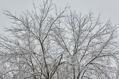 De de winterboom in sneeuw van Rusland Stock Foto