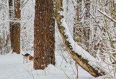 De de winterboom in sneeuw van Rusland Stock Fotografie