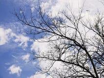 De de winterboom vertakt zich leaftless boom tegen bewolkte blauwe hemel Royalty-vrije Stock Afbeelding