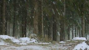 De de wintersneeuwstorm in de takken van de pijnboom bospijnboom buigt onder de dalende sneeuw Het de winterwild De prachtige wer stock video