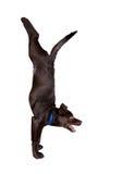 De de yogahandstand van de hond stelt Stock Fotografie