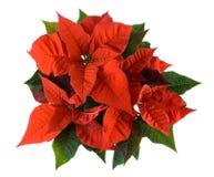 De decoratie van Kerstmis, rode poinsettia Royalty-vrije Stock Foto's