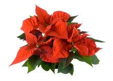 De decoratie van Kerstmis, rode poinsettia Stock Afbeeldingen
