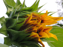 De decoratieve bloem van de zonnebloemzonnebloem die aan bloomflower begint die begint te bloeien Royalty-vrije Stock Foto's