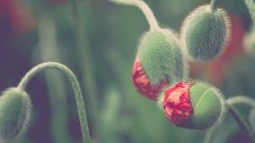 De decoratieve knoppen van rode papaverbloem in de lentedag, sluiten omhoog, 4K 3840 x 2160 UHD stock video