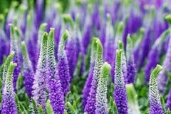 De decoratieve lupinebloemen, violette blauwe kleuren, sluiten omhoog Stock Afbeelding