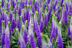De decoratieve lupinebloemen, violette blauwe kleuren, sluiten omhoog Royalty-vrije Stock Afbeeldingen