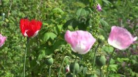 De decoratieve papaver bloeit bloeibeweging in wind in de zomertuin 4K stock video