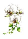 De decoratieve tak van de Orchideebloem Stock Afbeeldingen