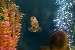 De decoratieve vis zwemt in het aquarium royalty-vrije stock foto