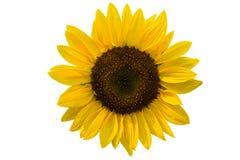 De decoratieve zonnebloemen van de zomer Stock Foto
