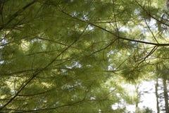 De Dekking van de pijnboom Stock Foto's