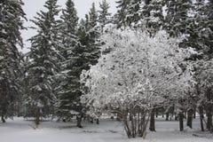 De dekkingsboom van de sneeuw in bos Stock Foto's