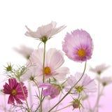 De dekorativa trädgårds- fjäderblommorna Royaltyfri Fotografi