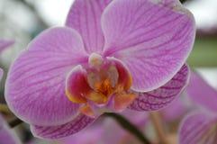 De delicatesse van een orchidee Stock Foto's