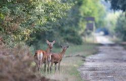 De derrière avec de jeunes cerfs communs Images libres de droits