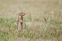 De dertien-gevoerde Eekhoorn van de Grond Royalty-vrije Stock Foto
