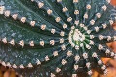 De Details van de cactus Royalty-vrije Stock Afbeelding