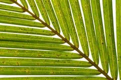 De Diagonaal van het Verlof van de palm Royalty-vrije Stock Foto's