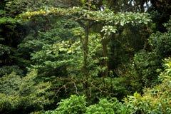 De dichte lagen van weelderig, groen gebladerte vullen Monteverde-Wolkenbos vanaf luifel aan vloer royalty-vrije stock foto