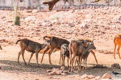 De dichte mening van groep Thamin-Herten die zich onder een boom bevinden stelt in een openbaar park in de schaduw stock fotografie