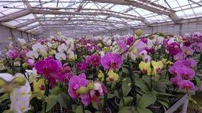De dichte omhooggaande, bloeiende orchidee van de orchideebloem dicht omhoog, mooie orchidee dicht omhoog stock video